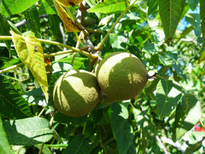 identifying black walnuts