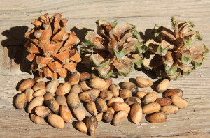 identifying pine nuts