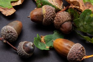 identifying oak acorns