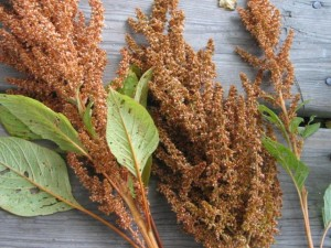 identifying Amaranth Seed