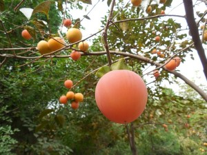 identifying persimmon-fruit
